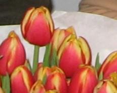 Tulpen für Tische